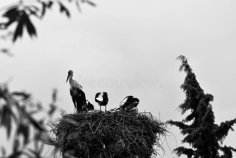 Elegancki bocian z swój gniazdeczkiem obrazy royalty free