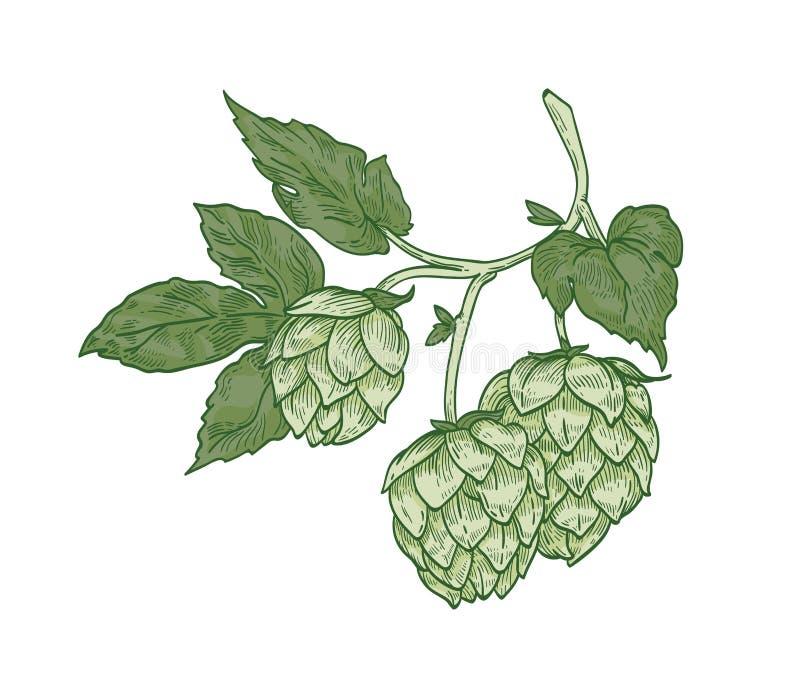 Elegancki botaniczny rysunek chmielu sprig Zieleni kwiatów pączki i liście roślina kultywujący dla piwnego piwowarstwa wręczają p royalty ilustracja