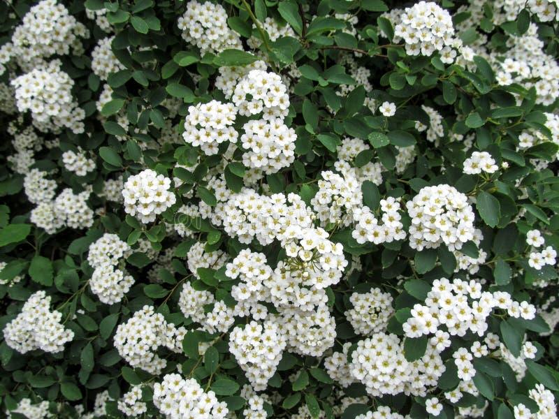 Elegancki kwiecisty tło dla ślubnych kart z miękkim białym Spiraea kwitnie obrazy stock