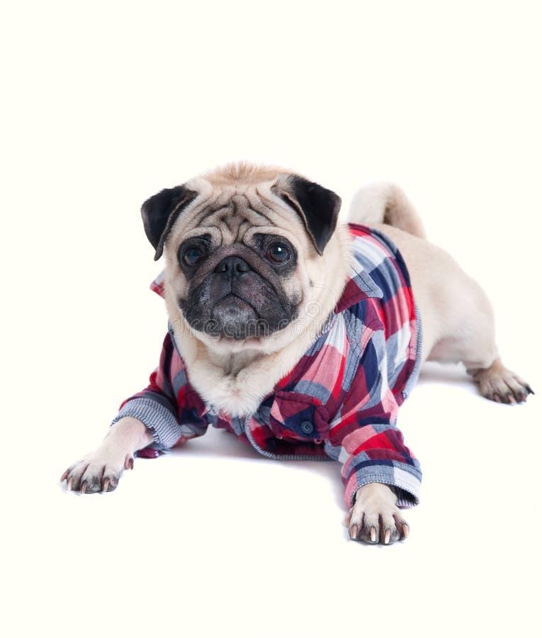 Elegancki pies w koszula fotografia stock