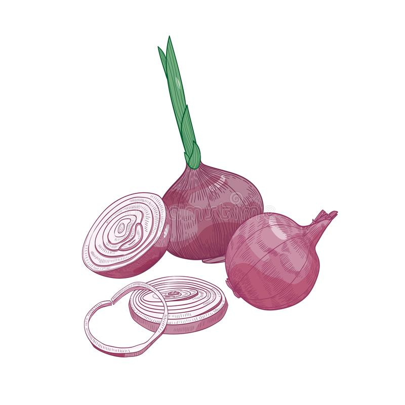 Elegancki rysunek rżnięta i cała czerwona cebula Świeży organicznie dojrzały surowy warzywo, kultywująca uprawa lub jarosza produ royalty ilustracja