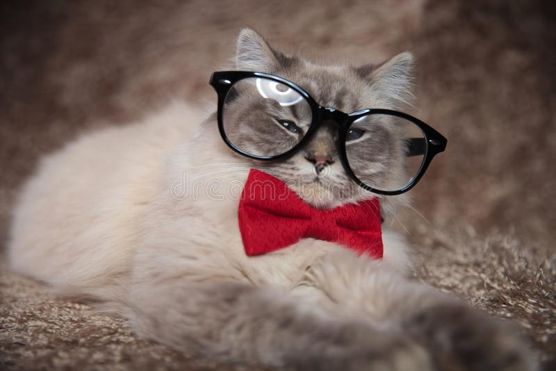 Elegancki uroczy kot jest ubranym szkła i czerwonego bowtie obrazy stock