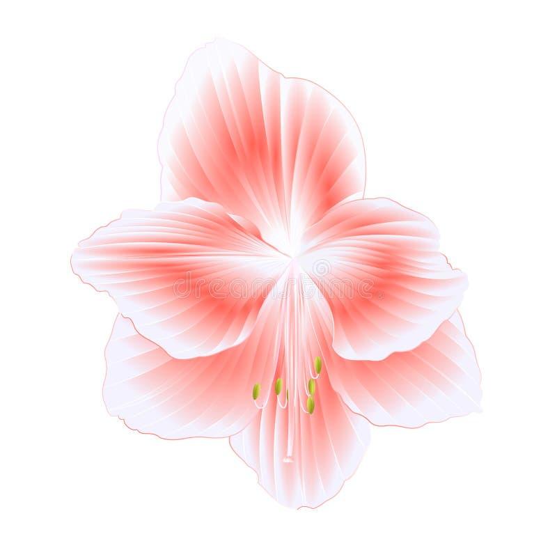 Eleganckie kwitnące Amaryllis menchie kwitną na biały tło wyszczególniającym naturalnym rysunku wspaniały kultywujący kwiecenie o ilustracja wektor
