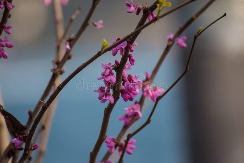 Elegancko kształtne gałąź z niektóre małymi menchiami kwitną na błękitnym zamazanym tle obraz stock