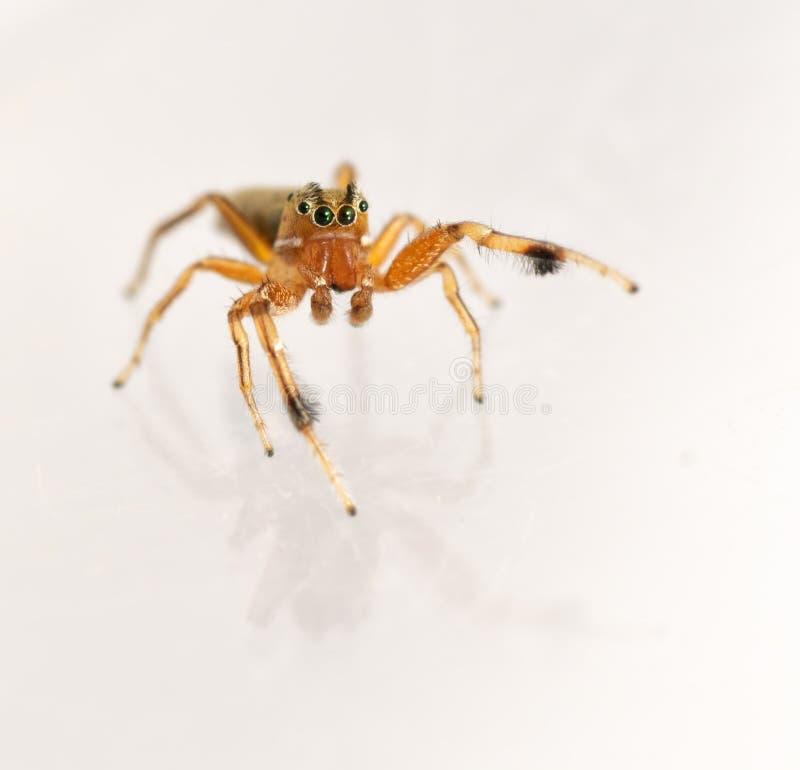 Elegans adoráveis de Tutelina do homem que saltam a aranha com suas sobrancelhas preto e branco impressionantes fotografia de stock royalty free