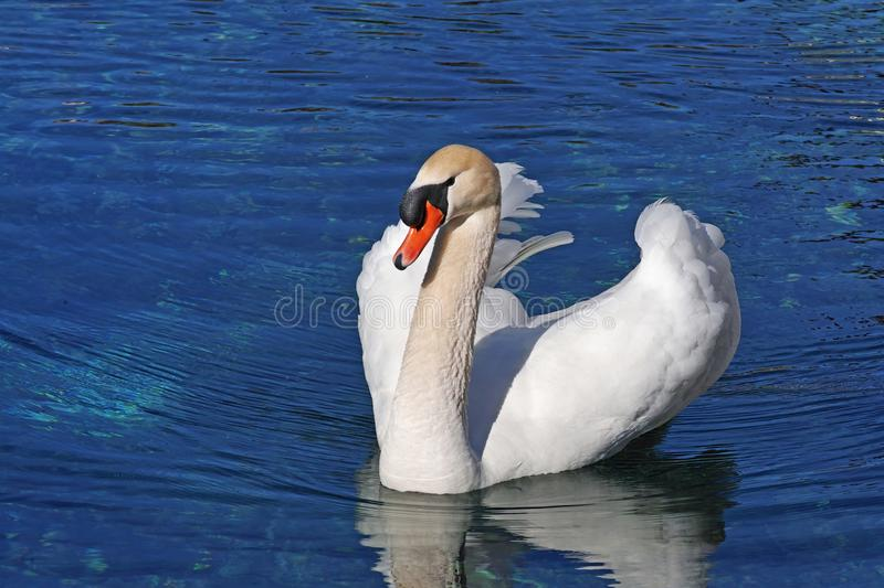 Mute swan in water royalty free stock photo
