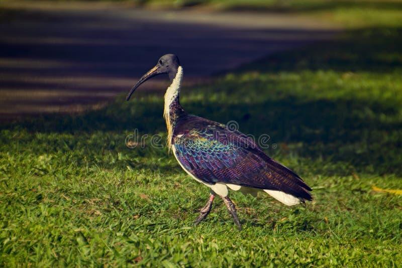 Elegant australiskt ta för ibis går i parkerar i Brisbane, i Australien royaltyfria bilder