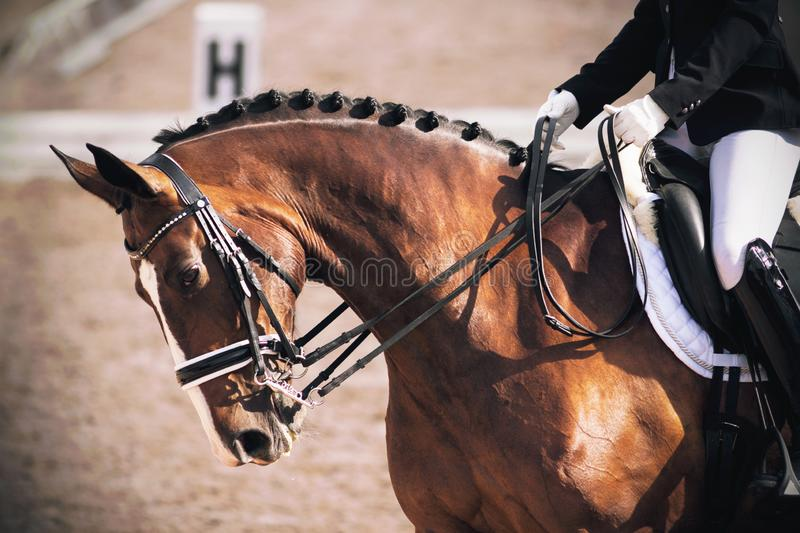 A elegant Bay horse bends its neck while performing tasks in dressage competitions. A beautiful elegant Bay horse bends its neck while performing tasks in stock photos