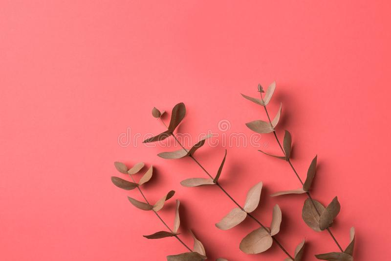 Elegant beautiful branches twigs of dry silver dollar eucalyptus on punch pink background. Warm autumnal color palette stock image