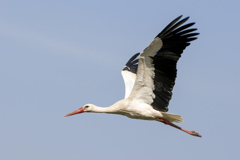 Elegant beautiful white stork bird with spread wings, black tail and long legs flying high in the clear bright blue cloudless sky. stock image