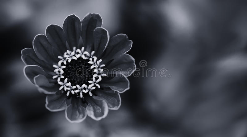 Elegant black white floral ornamental background. Blooming Zinnia flower close-up photography. Selective focus. Elegant black white floral ornamental background stock photo
