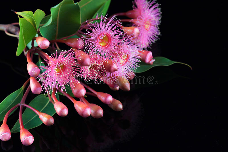 Elegant boeket van roze Eucalyptusbloemen en knoppen royalty-vrije stock fotografie