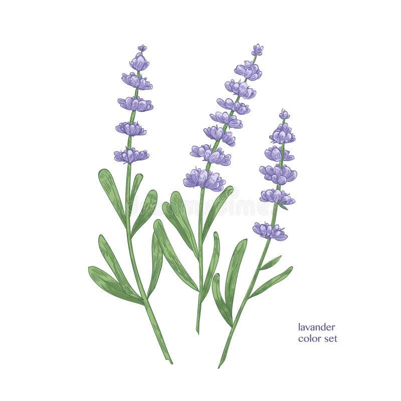 Elegant botanisk teckning av lavendelblommor och gröna sidor Härlig hand för blomma växt som dras på vit bakgrund royaltyfri illustrationer