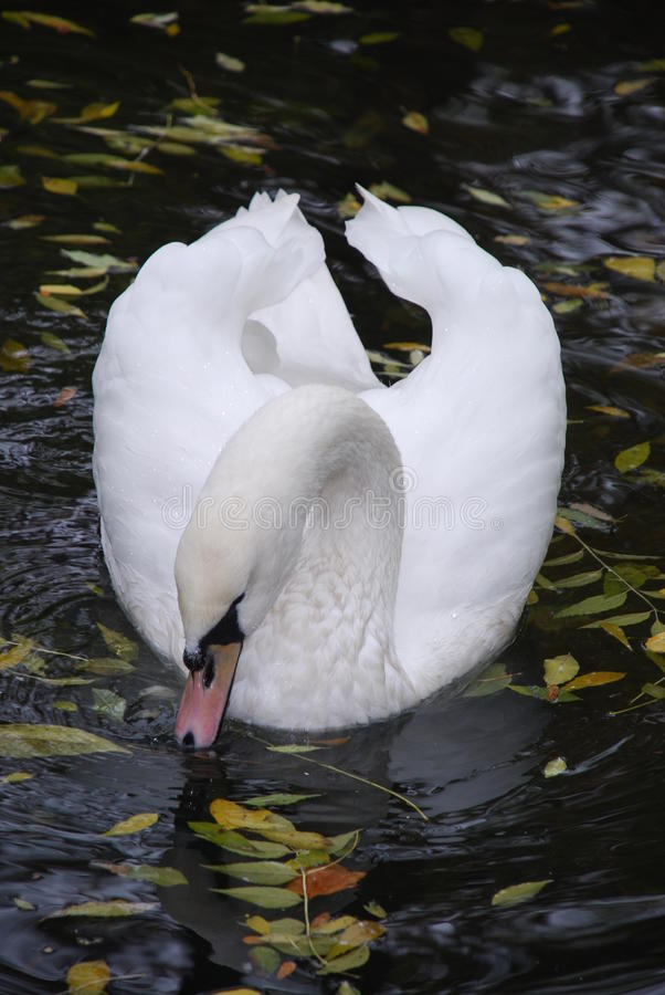 Download The elegant bow of a swan stock image. Image of beauty - 15265441