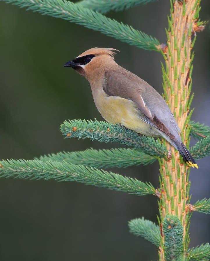 Elegant Cedar Waxwing bird royalty free stock photography