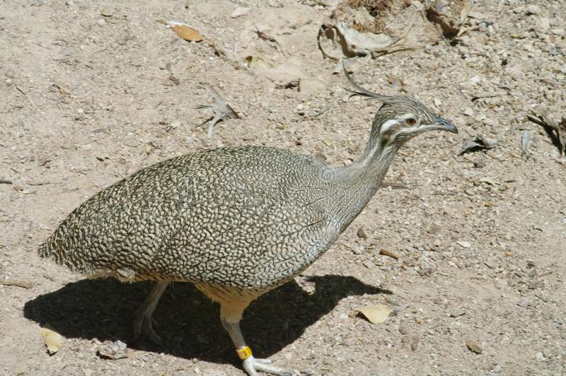 Elegant Crested Tinamou - Eudromia elegans. A bird of Chile and Argentina. Also called the martineta tinamou, it lives in shrubland. In summer it eats insects stock photos