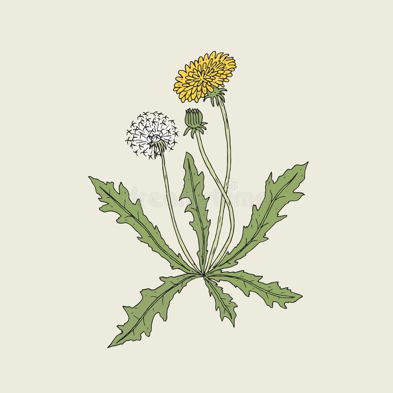 Elegant detailed drawing of dandelion plant with yellow flower, seed head and bud growing on stem and leaves. Beautiful royalty free illustration
