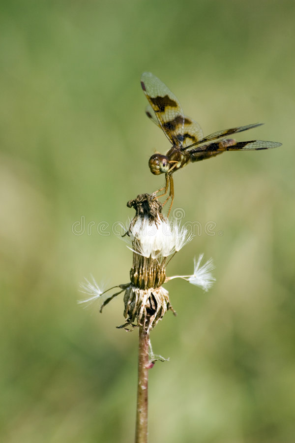 Elegant Dragonfly stock image