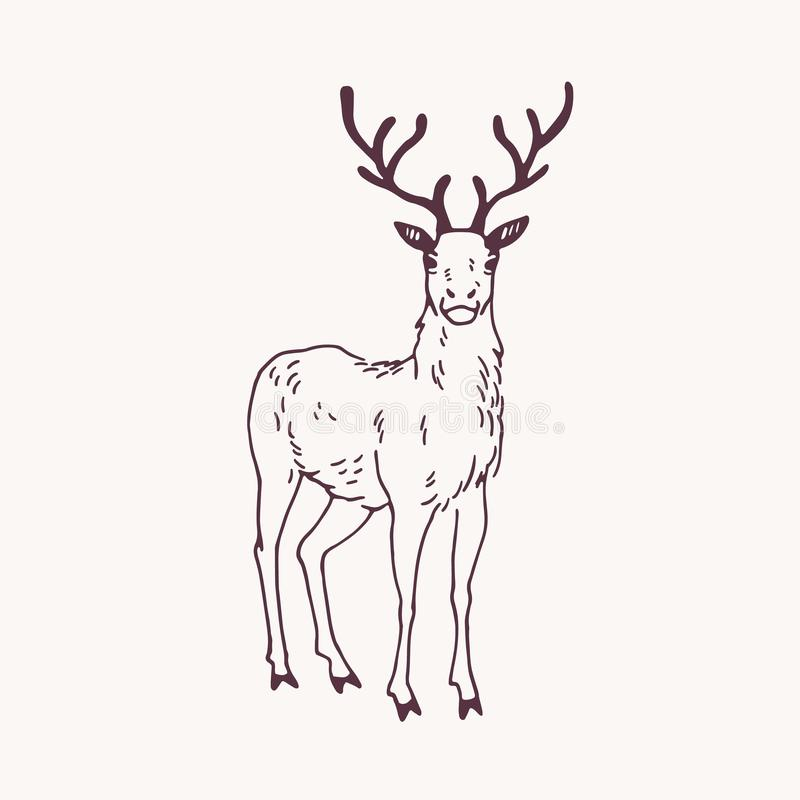 Elegant drawing of standing male deer, reindeer, hart or stag with beautiful antlers. Adorable wild ruminant animal hand vector illustration