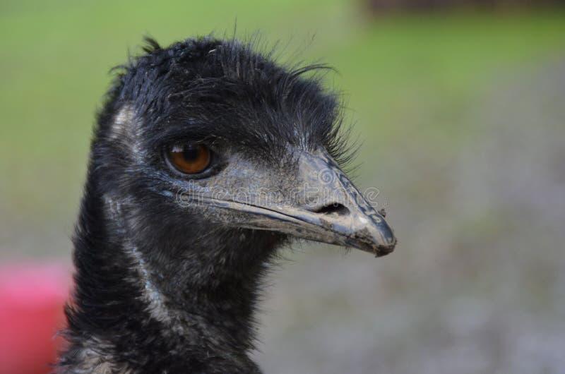Elegant emu royaltyfri bild