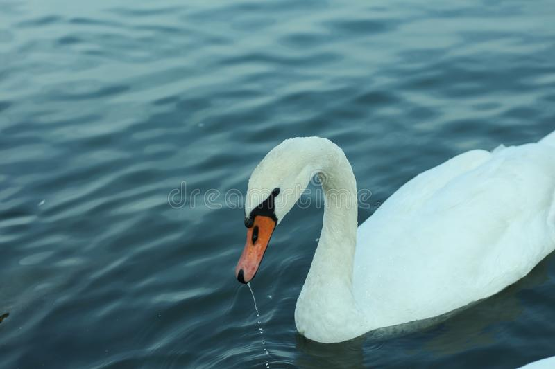 Swan getting his head out of the water. stock images