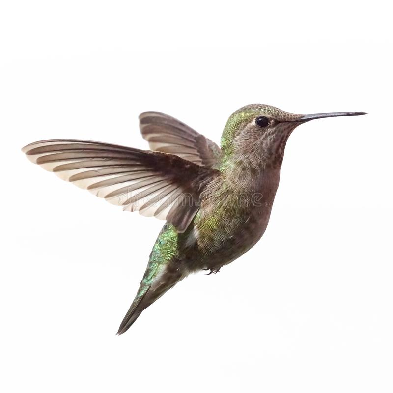 An elegant female Anna`s Hummingbird caught while flying isolated with a white background stock image
