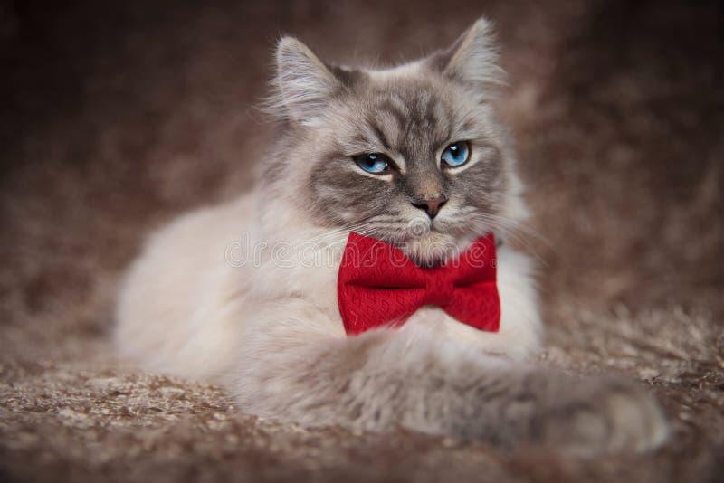 Elegant härlig katt som bär röd bowtie arkivfoto