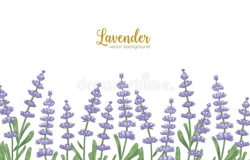 Elegant horizontal backdrop decorated by lavender flowers and green leaves. Natural background with beautiful flowering royalty free illustration