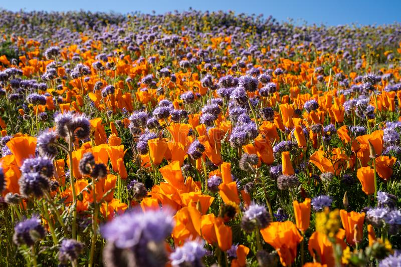 Elegant lacy phacelia and orange poppies grow in a wildflower field at Antelope Valley Poppy Reserve in California during the stock images