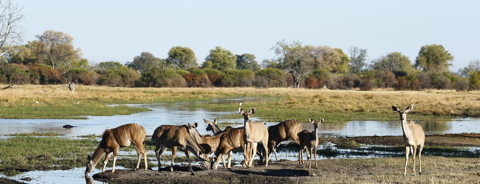 Herd of Greater Kudus drinking on the river stock photography