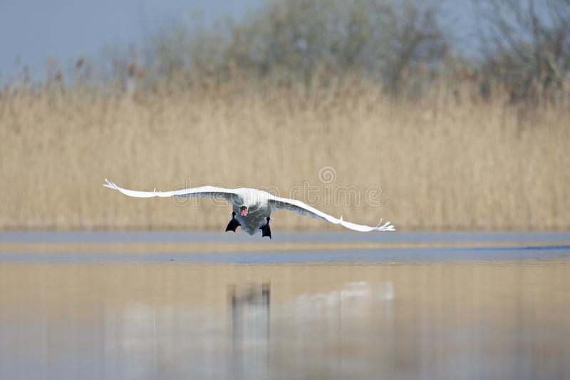 An elegant mute swan Cygnus olor flying highspeed towards the camera low over water. An adult bird with wings spread royalty free stock images