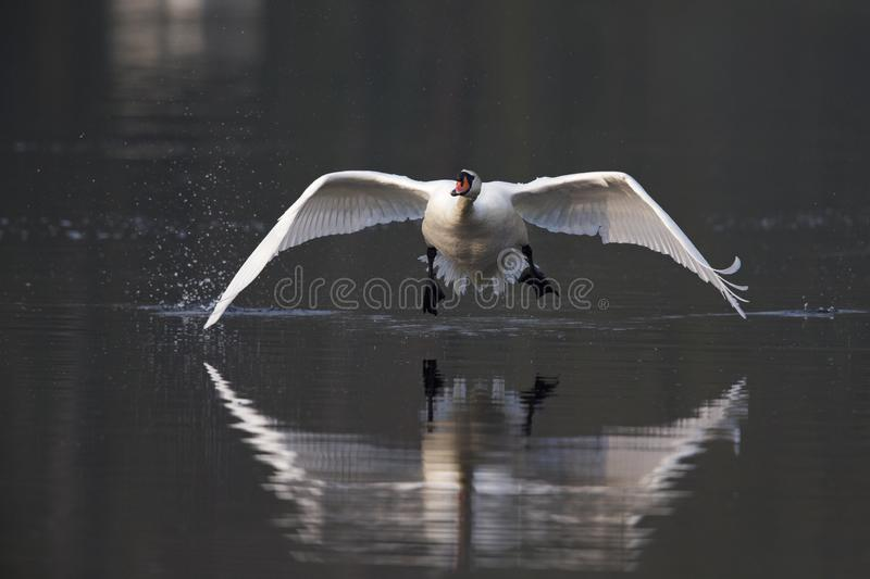 An elegant mute swan Cygnus olor flying highspeed towards the camera low over water. An elegant mute swan flying highspeed towards the camera low over water. An royalty free stock photos