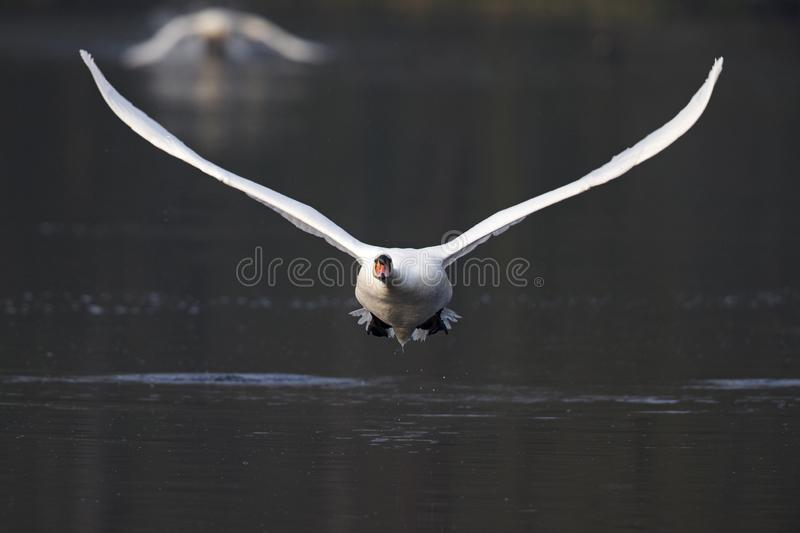 An elegant mute swan Cygnus olor flying highspeed towards the camera low over water. An elegant mute swan flying highspeed towards the camera low over water. An royalty free stock image