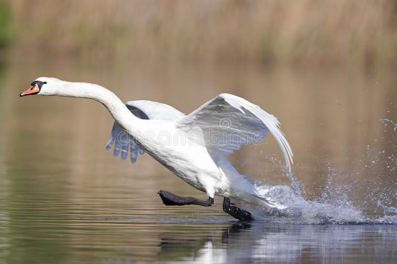 An elegant mute swan Cygnus olor landing in highspeed in a lake in the city Berlin Germany. With waterdrops flying al over the place royalty free stock images