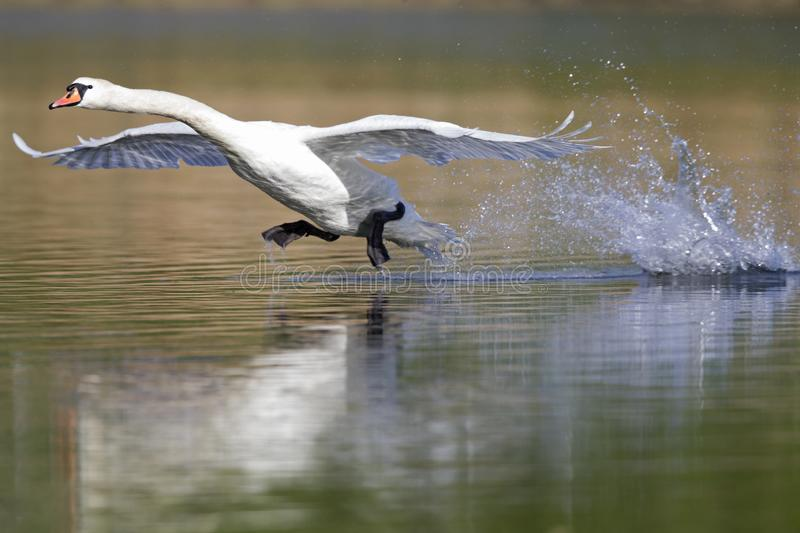 An elegant mute swan Cygnus olor landing in highspeed in a lake in the city Berlin Germany. With waterdrops flying al over the place stock photography