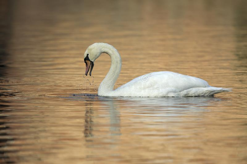 An elegant mute swan Cygnus olor swimming in morning light in a lake with bright colors. royalty free stock image