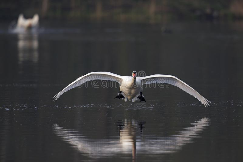An elegant mute swan Cygnus olor flying highspeed towards the camera low over water. An elegant mute swan flying highspeed towards the camera low over water. An stock photography