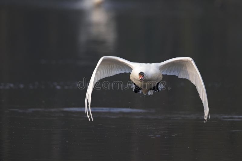 An elegant mute swan Cygnus olor flying highspeed towards the camera low over water. An elegant mute swan flying highspeed towards the camera low over water. An stock image