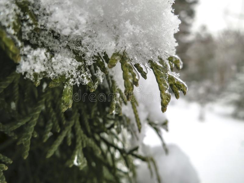 Elegant needles of evergreens are covered with droplets of ice and snow. stock image