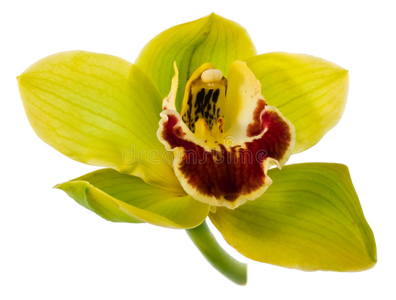 Elegant Orchid Royalty Free Stock Images