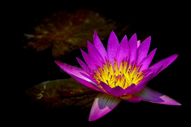 Glowing common pink nymphaea or water lily in a pond. Elegant and peaceful dark pink water lily in full bloom in the morning stock image