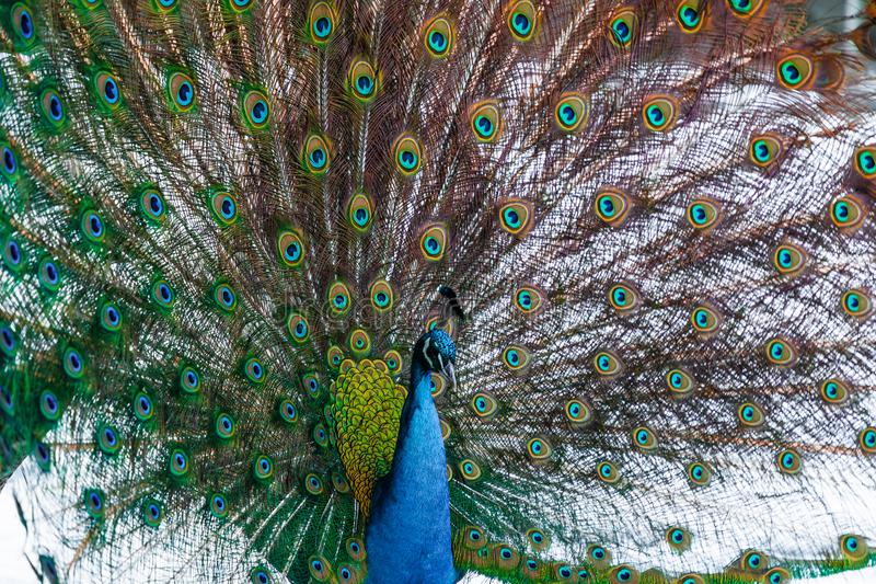 Peacock with colored feathers royalty free stock images