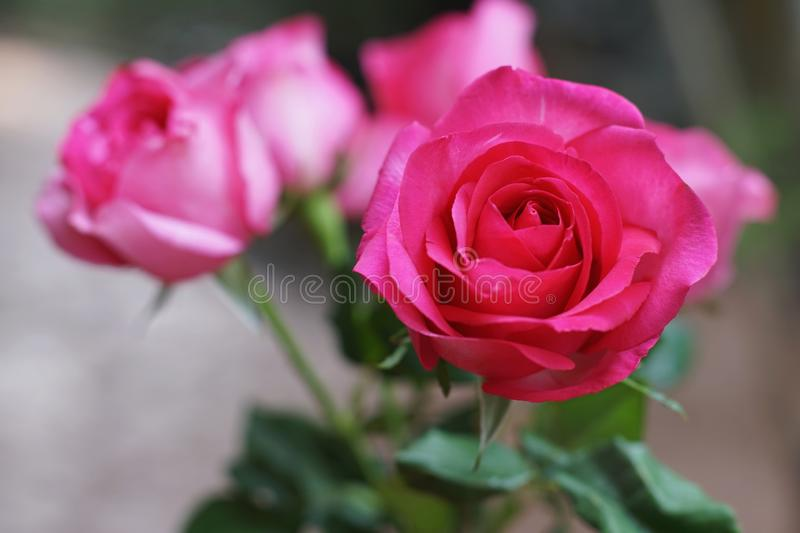 Elegant pink roses in vase, beautiful valentine`s day gift concept royalty free stock images