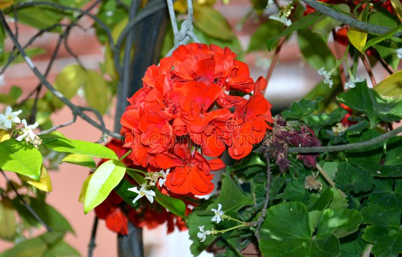 Red flower in pot in Venice, in Italy, Europe royalty free stock photos