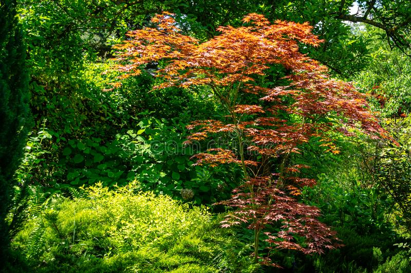 Elegant red Japanese Maple, Acer palmatum Atropurpureum tree with purple leaves in beautiful spring. Garden against backdrop of greenery stock images