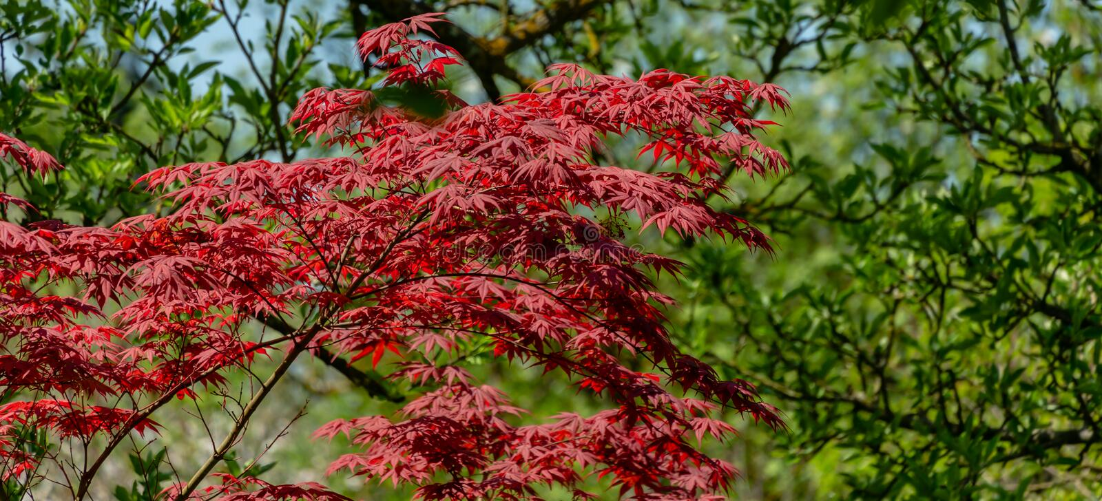 Elegant red Japanese Maple, Acer palmatum Atropurpureum tree with purple leaves. In spring garden against backdrop of greenery royalty free stock image