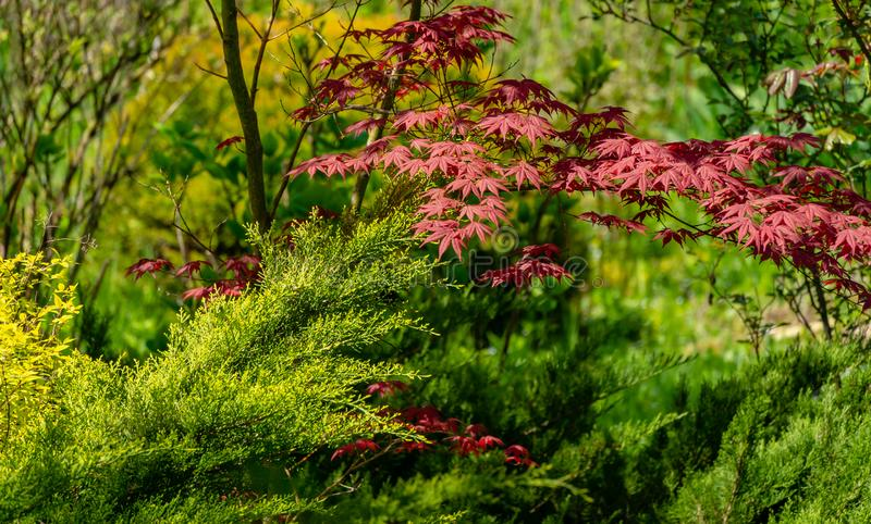 Elegant red Japanese Maple, Acer palmatum Atropurpureum tree with purple leaves in spring garden. Against backdrop of greenery royalty free stock photography