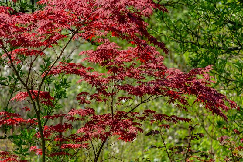 Elegant red Japanese Maple, Acer palmatum Atropurpureum tree with purple leaves in spring garden. Against backdrop of greenery stock images