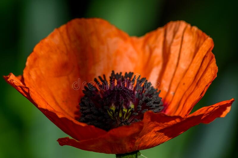 Elegant red poppy flower backlit in a sunny day. Close up stock images