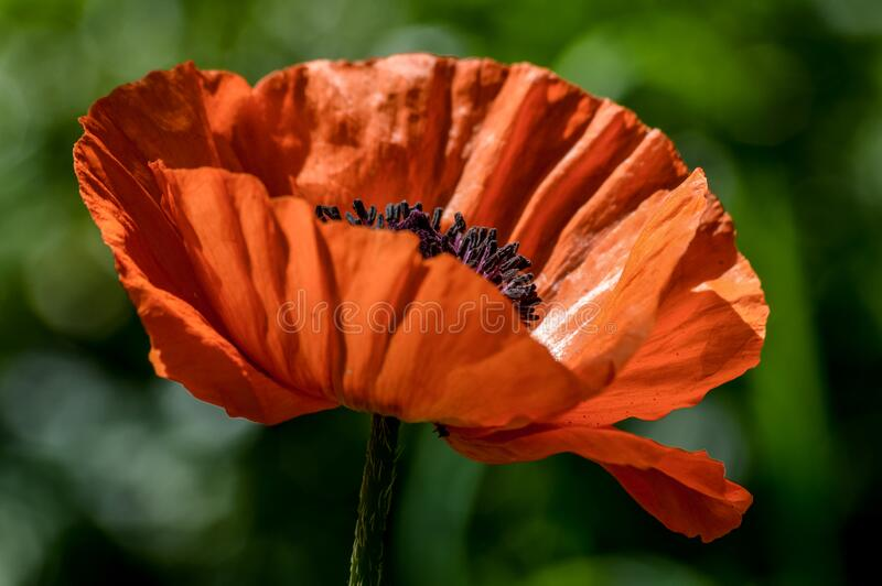 Elegant red poppy flower backlit in a sunny day. Close up stock photo
